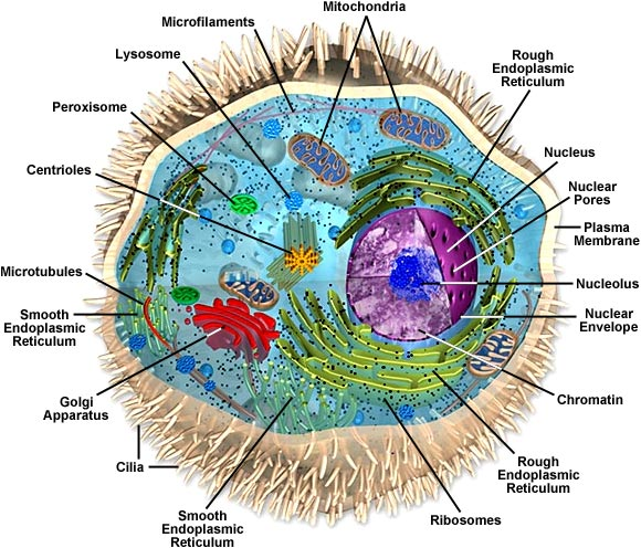 Intro to Anatomy 4: Cell Structure and Function - Freethought Forum