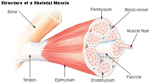 understanding skeletal muscle contraction physiology essay Understanding skeletal muscle contraction physiology is quite a rare and popular topic for writing an essay understanding pain, part 1: physiology of pain.