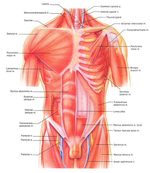 Membranes Muscles