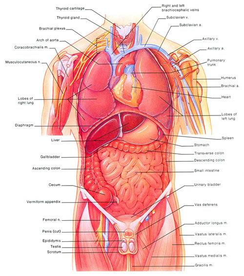 anatomy of organs