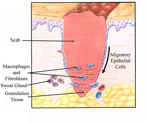 Intro to Anatomy 7: The Integumentary System - Freethought Forum